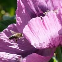 Schlafmohn mit Biene
